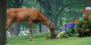 Deer nibble on flowers at Cedar Grove Cemetery